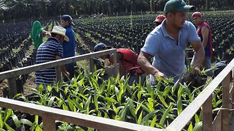 Palm seedlings being taken from the nursery