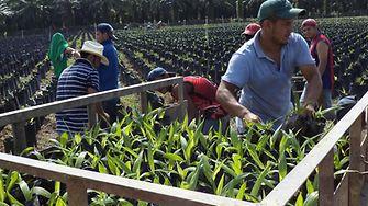 Palm seedlings being taken from the nursery