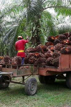 Collection of fresh palm fruit bunches for processing by the mill