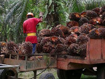 Henkel palm oil smallholder project