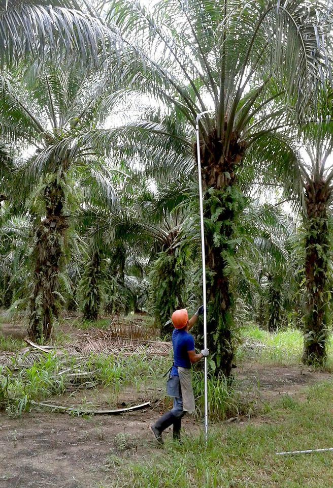 Bauer in Honduras beim Ernten frischer Palmfrüchte