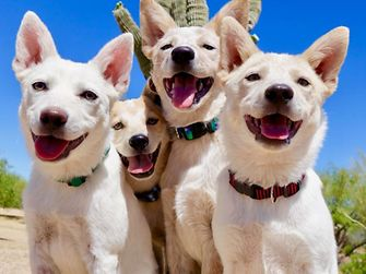 obin Kingma and her colleagues from Henkel North America founded the organization Arizona Cattle Dog Rescue in 2010