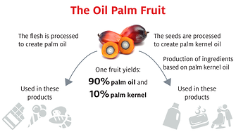 Infographic: The oil palm fruit